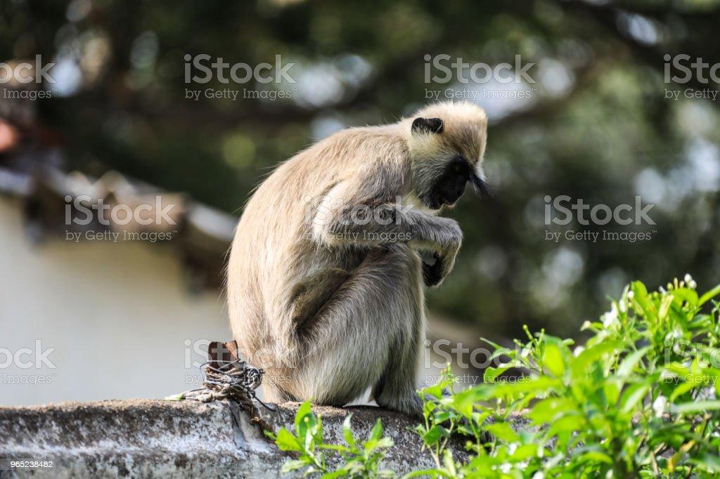 Sri lanka Anuradhapura Monkey Semnopithecus entellus zbiór zdjęć royalty-free