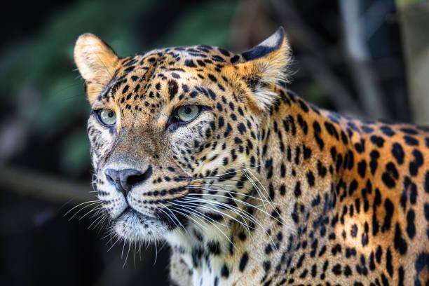 Sri Lanka Ceylon Leopard, Panthera pardus kotiya stock photo