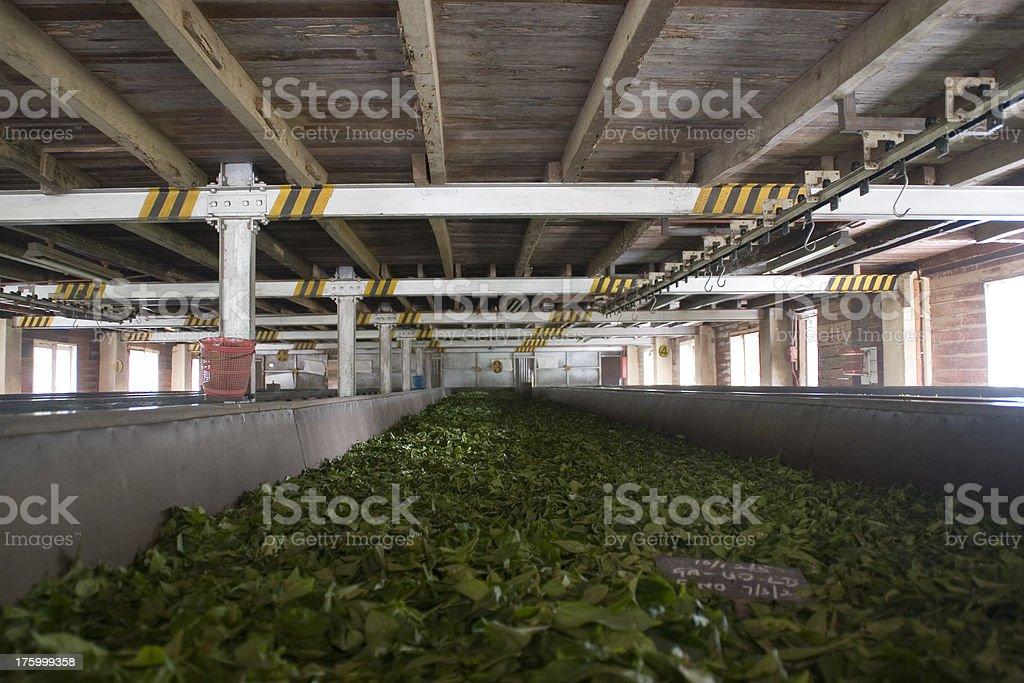 Sri Lanka: Drying the Tea Leaves stock photo