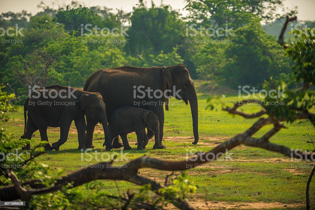 Sri Lanka: family of wild elephants in Yala National Park stock photo