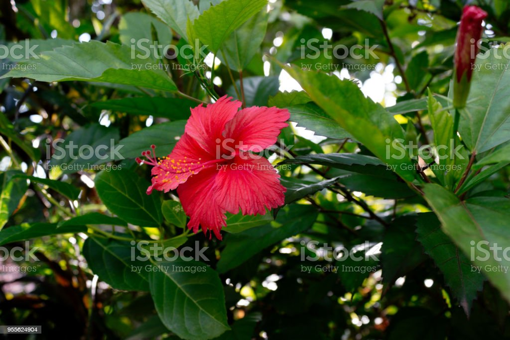 Sri Lanka National Flowers The Red Shoe Flower Or Hibiscus