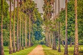 Sri Lanka: palm alley in Royal Botanic Gardens, Peradeniya, Kandy