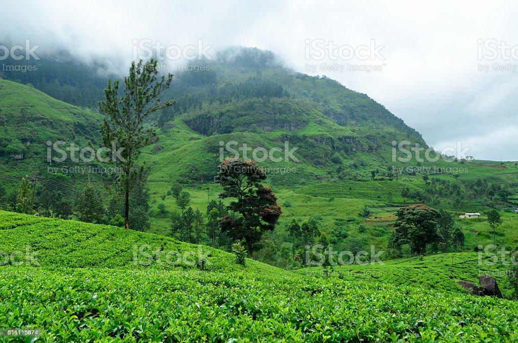 Sri Lanka Tea Field stock photo