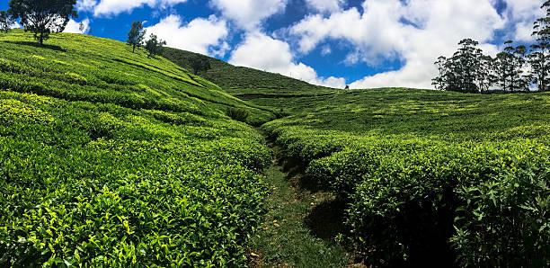 Sri Lanka tea plantation national park foto