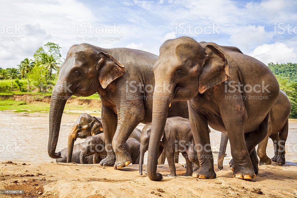Sri Lankan Elephant stock photo