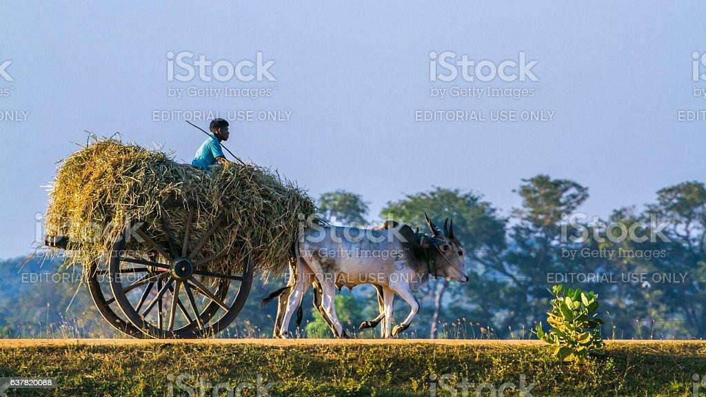 Sri Lankan man riding ox car in Panama, Sri Lanka stock photo