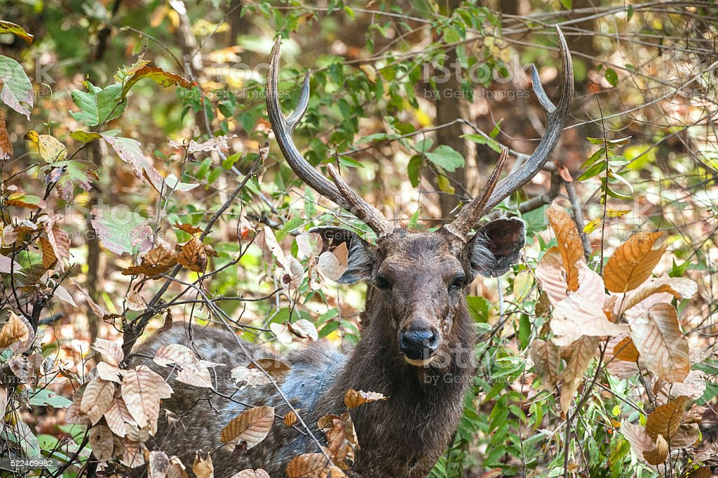 Sri Lankan sambar deer. stock photo
