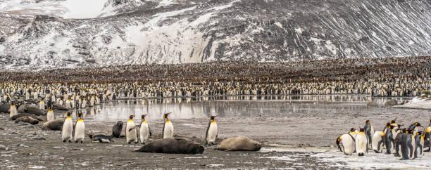 St. Andrews Bay King Penguins, South Georgia Island stock photo