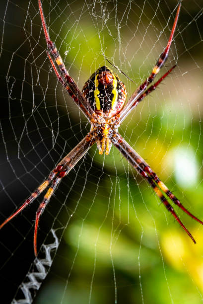 St. Andrew's Cross Spider Macro view of a St. Andrew's Cross Spider waiting on its web. These creatures are commonly found in backyard gardens where they are frequently set up for snaring flies, mosquitoes, moths and other small unsuspecting insects. ambush stock pictures, royalty-free photos & images