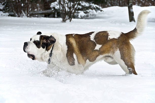 St. Bernard dog cool in the snow stock photo