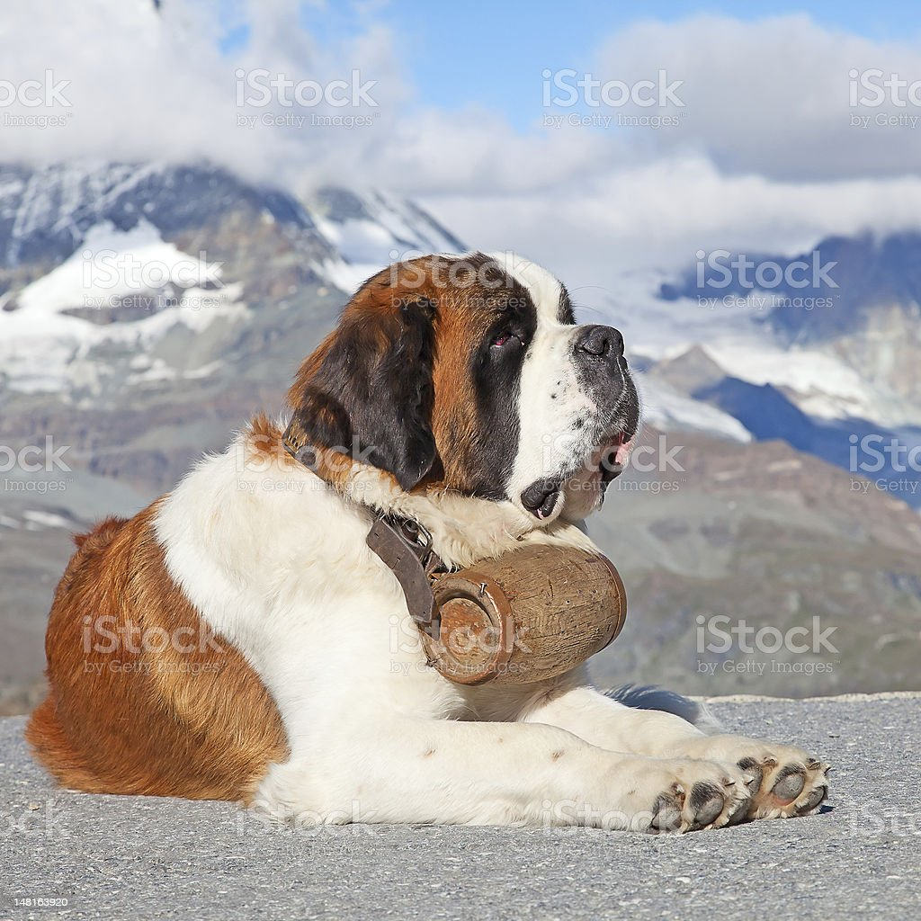 St Bernard Dog in front of the view of mountains and clouds stock photo
