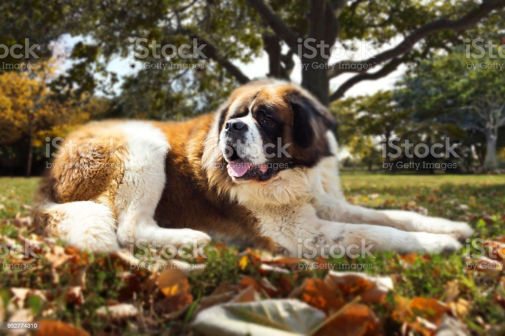 St. Bernard Dog In The Nature Laying On The Ground stock photo