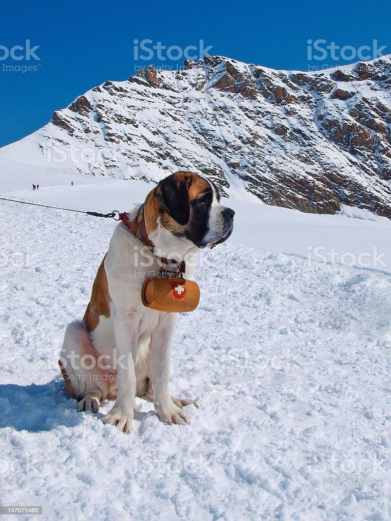 St. Bernard dog royalty-free stock photo