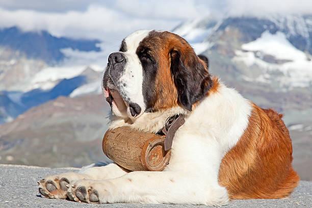 st. bernard hund - bernhardiner stock-fotos und bilder