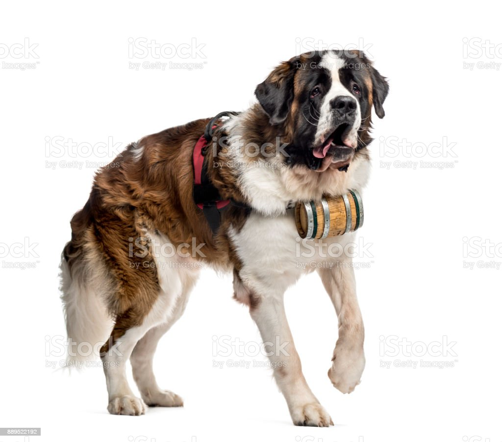St. Bernard dog walking with a barrel (14 months old), isolated on white stock photo