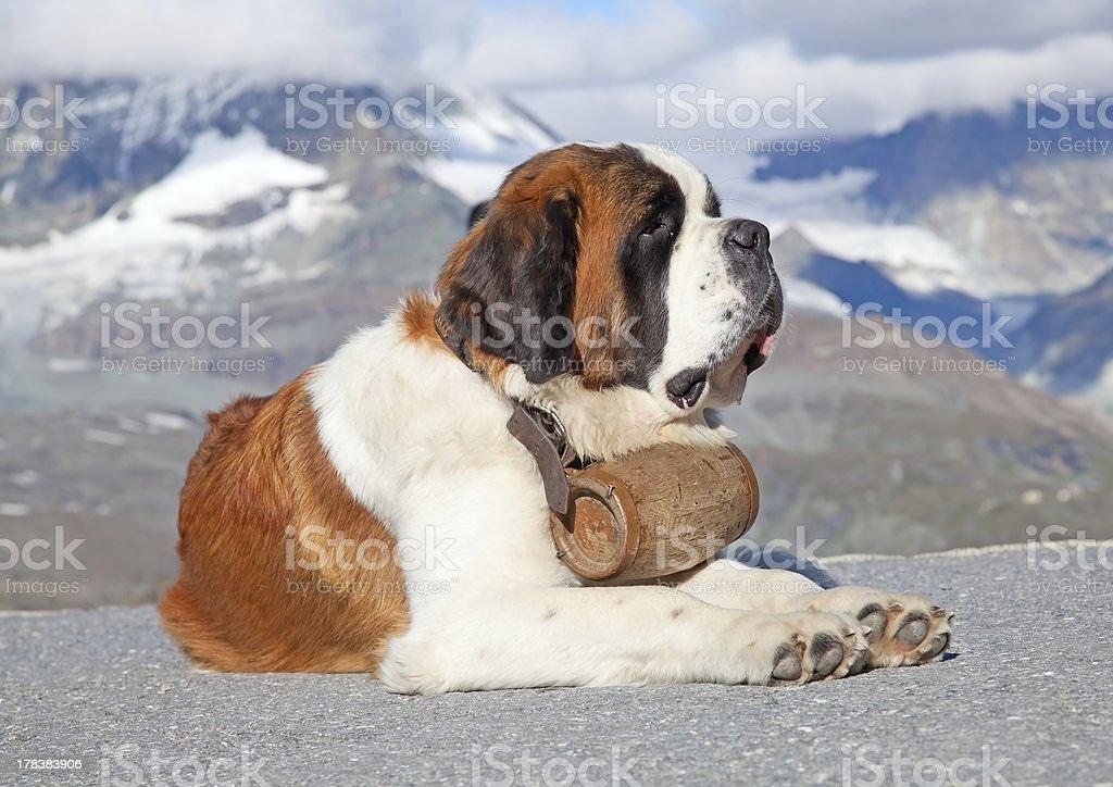 St. Bernard Hund mit keg – Foto