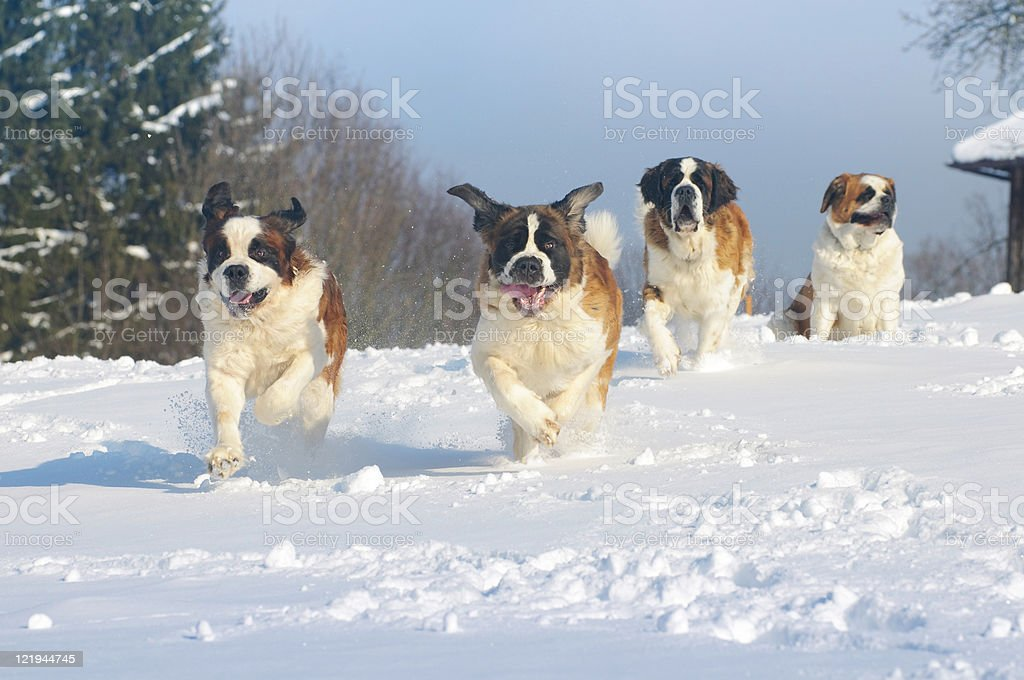 St. Bernard dogs cool in the snow stock photo