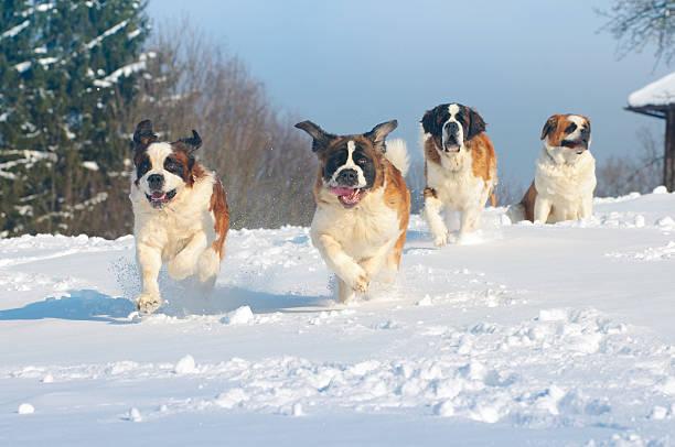 st. bernard hunde dezenten im schnee - bernhardiner stock-fotos und bilder