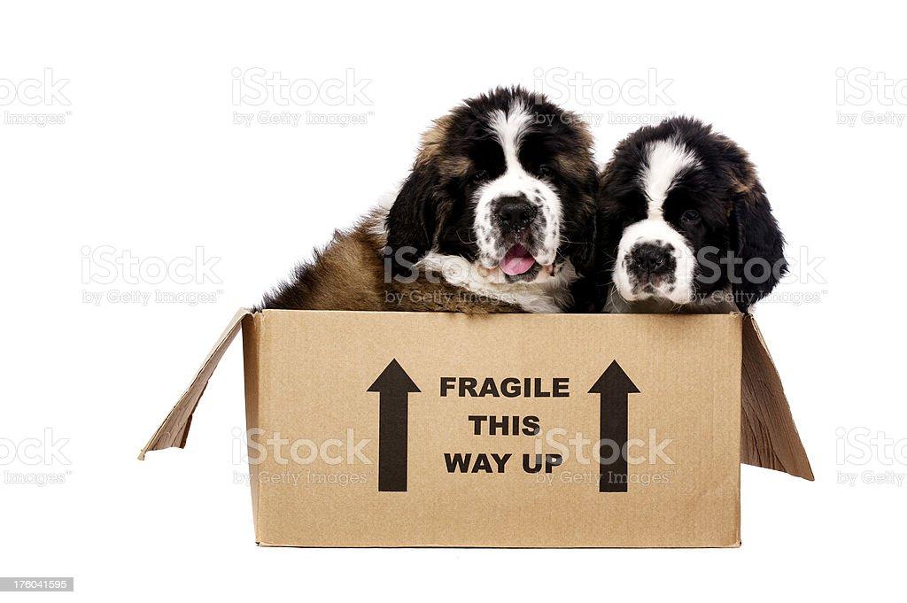 St Bernard puppies in a cardboard box stock photo