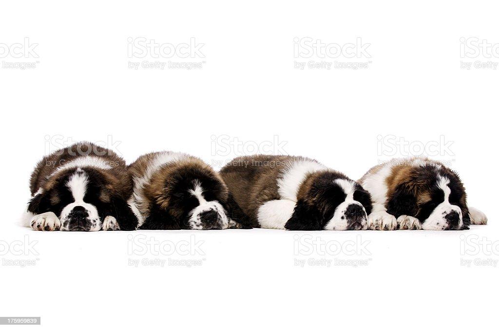 St Bernard puppies isolated on white stock photo