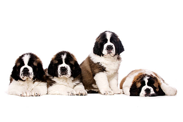 St Bernard puppies isolated on white stock photo