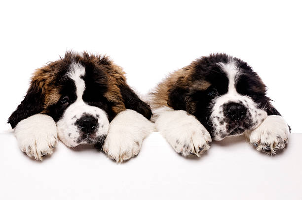 St Bernard puppies looking over a blank sign stock photo