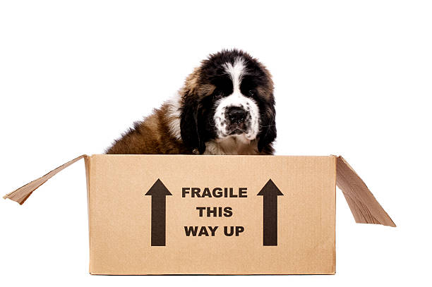 St Bernard puppy in a cardboard box stock photo