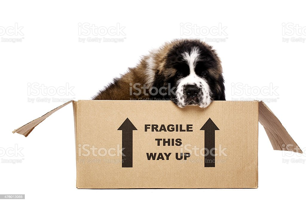 St Bernard puppy in a cardboard box royalty-free stock photo