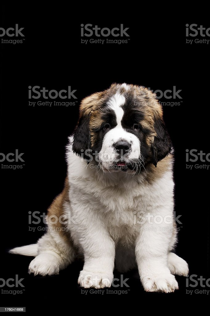 St Bernard puppy isolated on black royalty-free stock photo