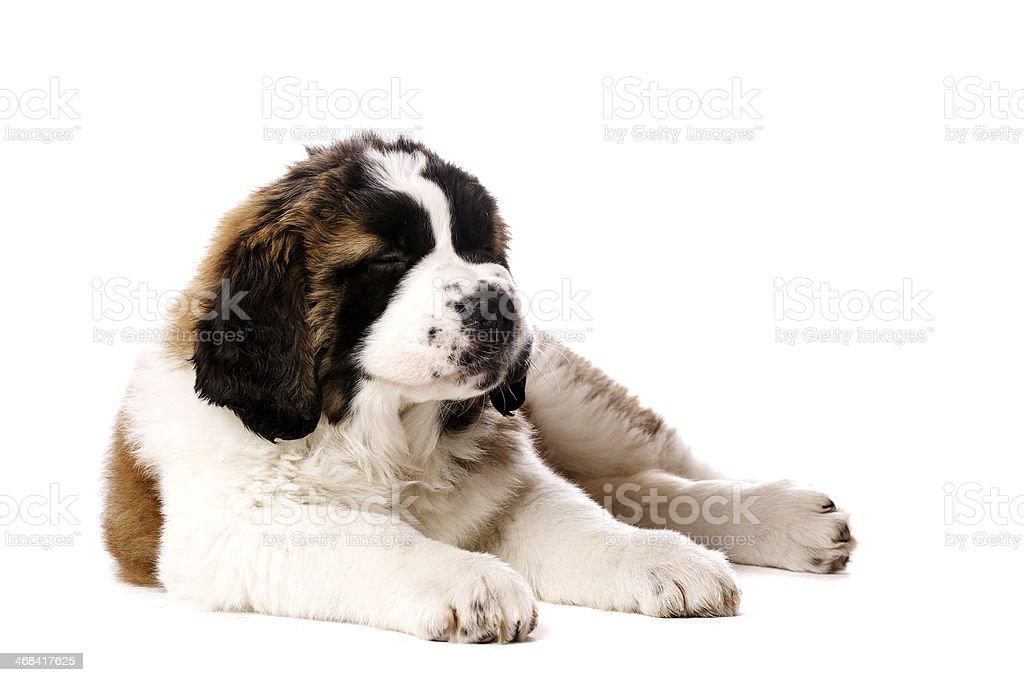 St Bernard puppy isolated on white stock photo