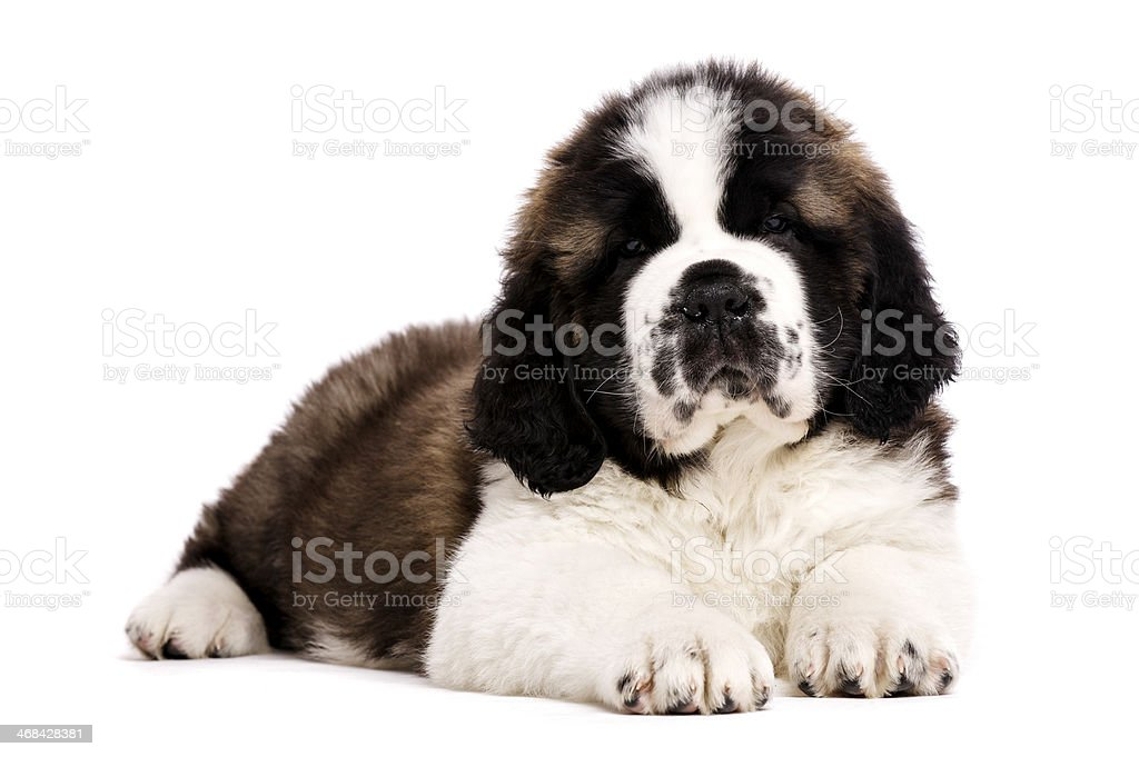 St Bernard puppy isolated on white royalty-free stock photo