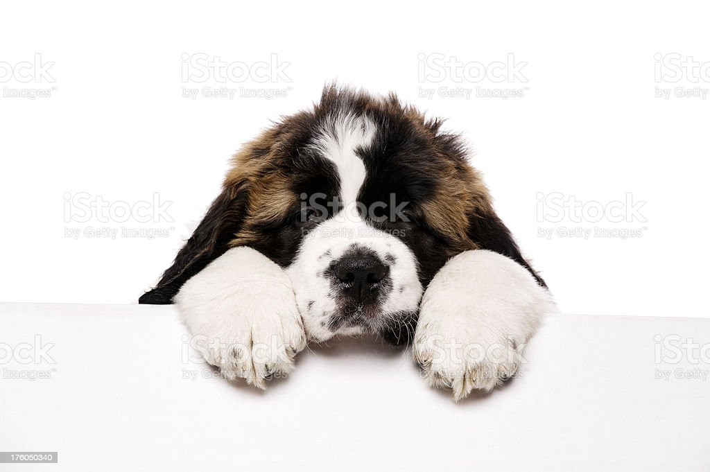 St Bernard puppy looking over a blank sign royalty-free stock photo