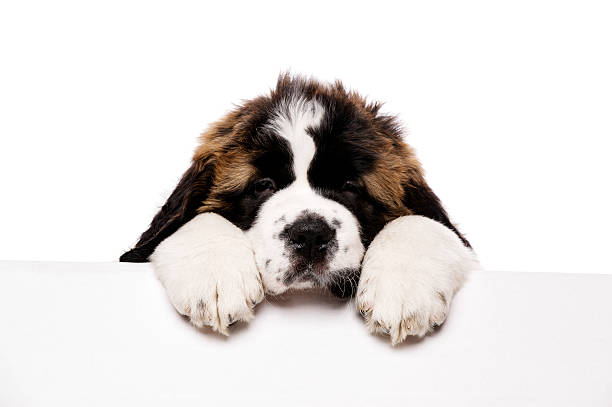 St Bernard puppy looking over a blank sign stock photo