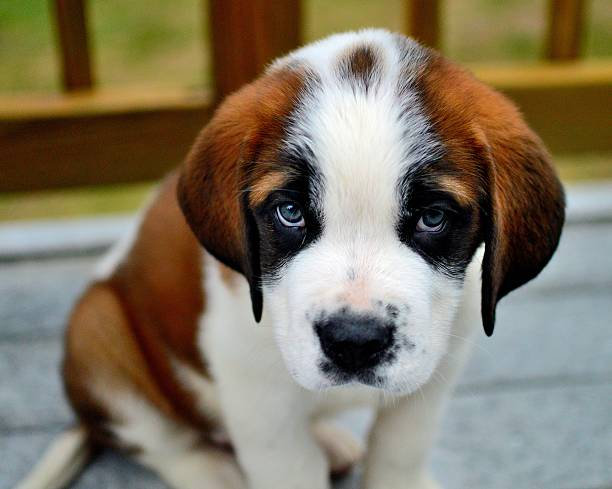 Royalty Free Sad Puppy Pictures, Images and Stock Photos ...