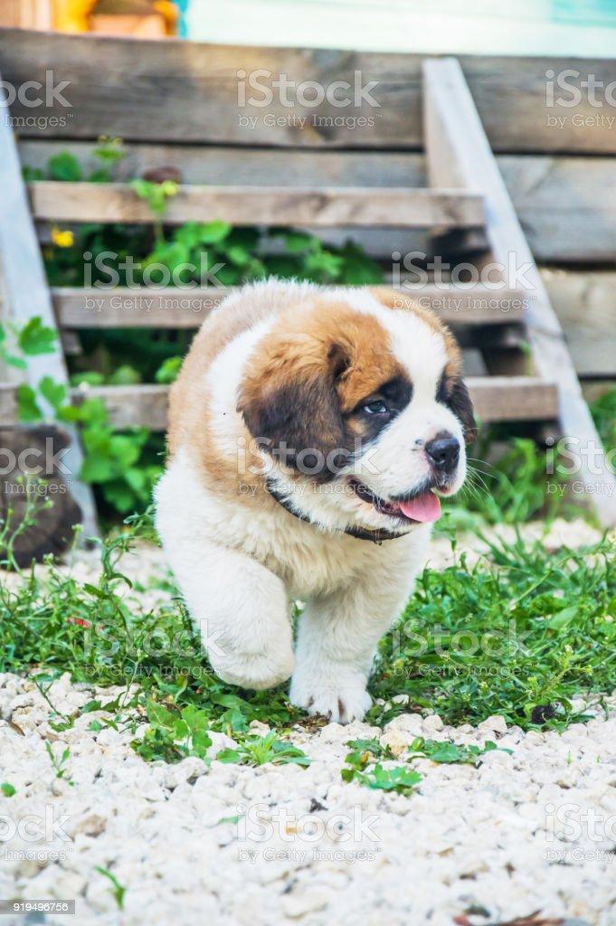 St. Bernard puppy runs stock photo