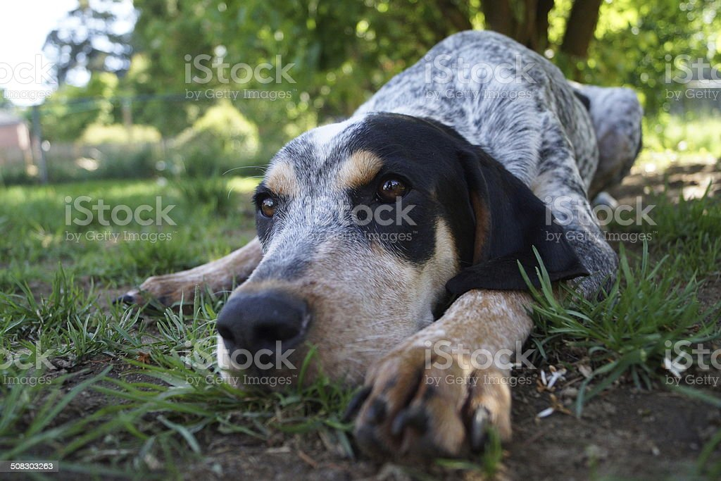 St. Hubert lying in the grass stock photo