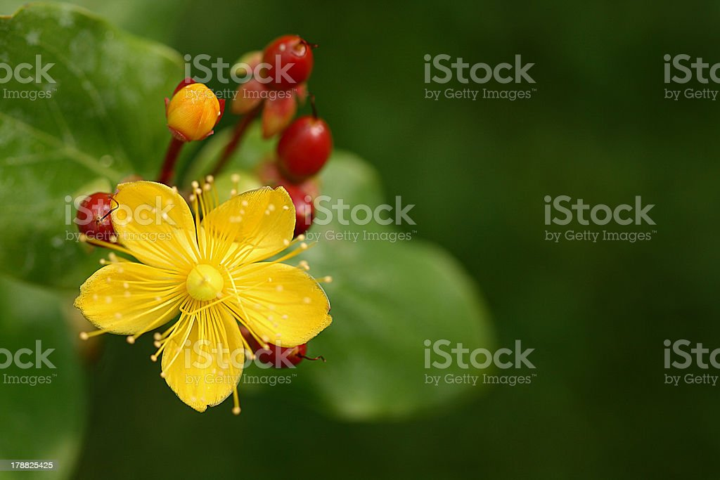 St. John´s wort royalty-free stock photo