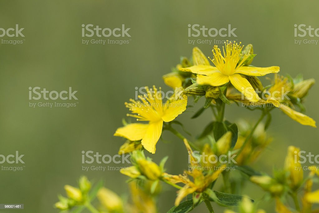 St John's Wort royalty-free stock photo