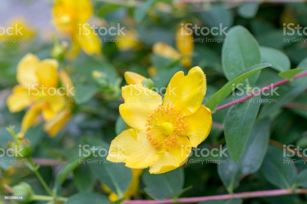 St, John's wort (Hypericum) bush stock photo