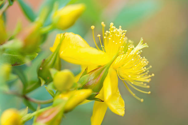 St Johns Wort Flower stock photo