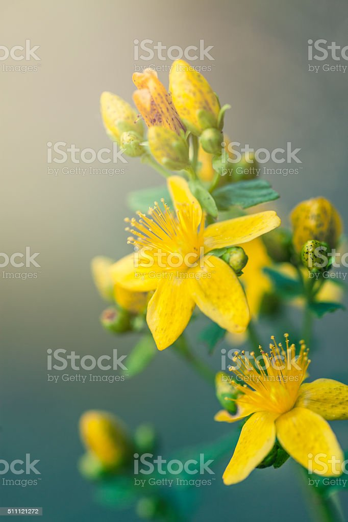 St John's Wort flowers stock photo