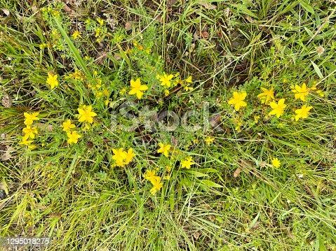istock St John's Wort in Flower 1295018275