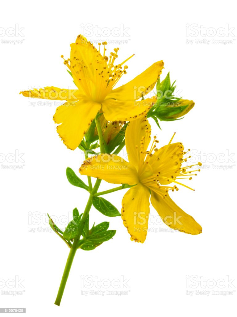 St. John's wort (Hypericum perforatum) isolated without shadow stock photo
