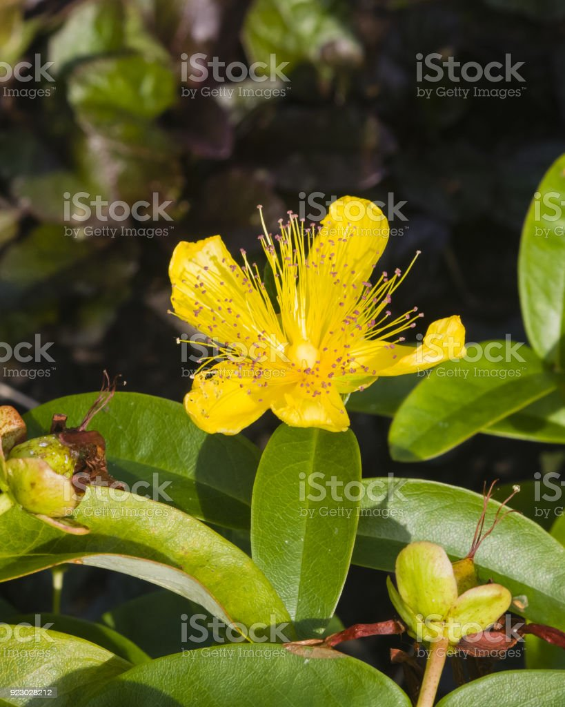 St johns wort or yellow rose of sharon hypericum calycinum flower st johns wort or yellow rose of sharon hypericum calycinum flower close mightylinksfo