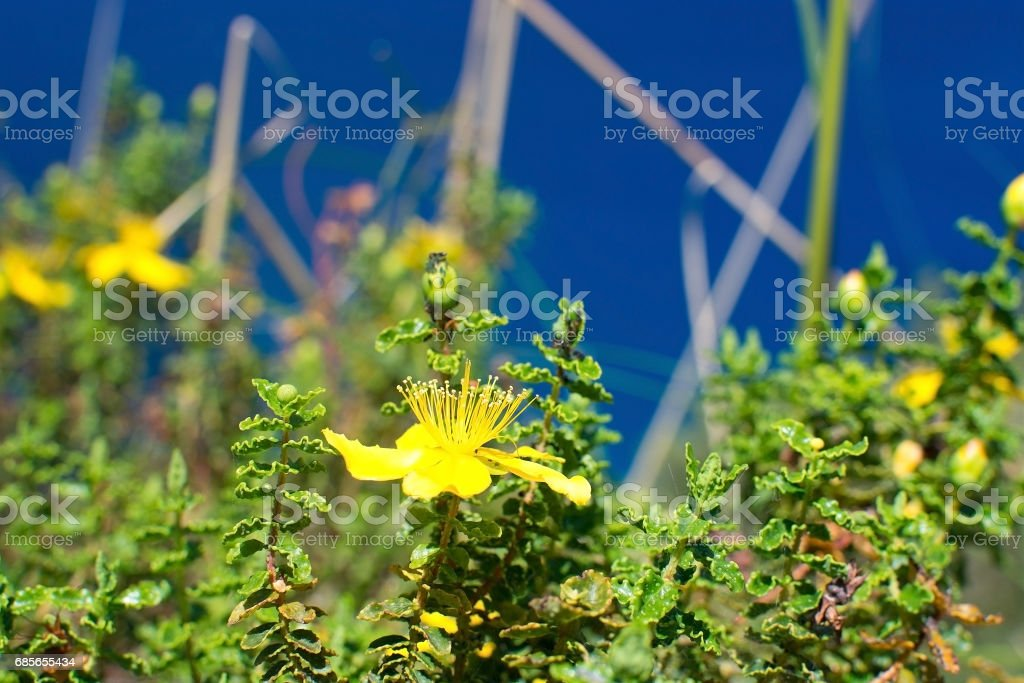 St Johnswort wildflowers Mallorca 免版稅 stock photo