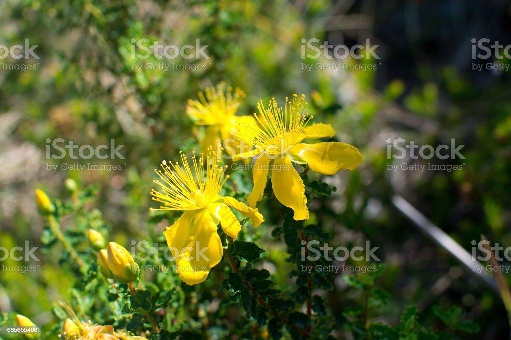 St Johnswort wildflowers Mallorca royalty-free 스톡 사진