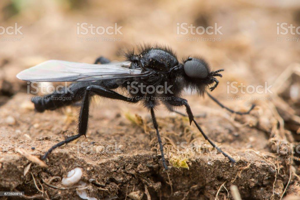St. Mark's Fly (Bibio marci) male stock photo