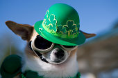 Cute Chihuahua dog made up for St. Paddy's Day