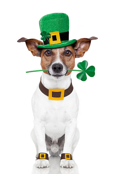 st. patrick's day dog - st patricks days stock photos and pictures