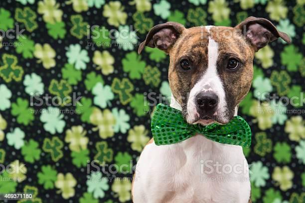 St patricks day dog picture id469371180?b=1&k=6&m=469371180&s=612x612&h=peiurai3qkfmyv teeczuuduohpfrrgtknw0dsyfnum=